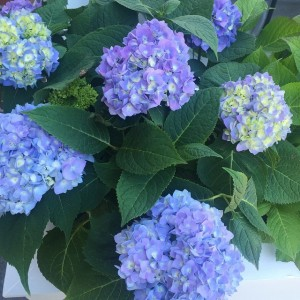 Hydrangeas on point in downtown Hanover! #mdw