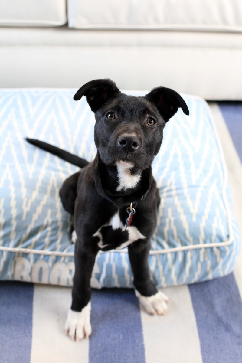 Pitbull German Shepard Puppy